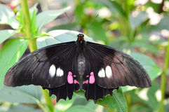 Papilio Demodocus Butterfly Royalty Free Stock Images