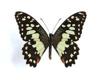 Papilio demodocus (Citrus butterfly). Papilio demodocus (Citrus butterfly, Orange Dog, Christmas Butterfly) on the white background royalty free stock image