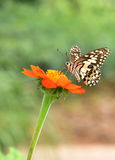 Papilio demodocus (Citrus butterfly) - striped butterfly Stock Photos