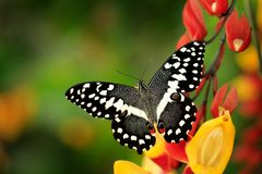 Papilio demodocus, citrus swallowtail or Christmas butterfly on the red and yellow flower in the nature habitat. Beautiful insect. From Tanzania in Africa stock image