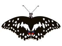papilio demoleus бабочки Стоковое Изображение RF