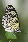 Papilio demoleus. Exotic southern butterfly royalty free stock images