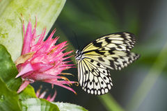 Papilio demoleus. Exotic southern butterfly Stock Images