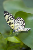 Papilio demoleus. Exotic southern butterfly royalty free stock photo