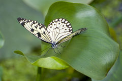 Papilio demoleus. Exotic southern butterfly royalty free stock photos