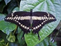 Papilio demoleus Royalty Free Stock Images