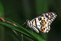 Papilio demoleus Fotografia Royalty Free