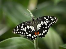 Papilio demoleus Lizenzfreies Stockbild