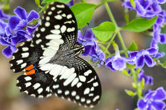 Papilio demoleus black and white spots butterfly Royalty Free Stock Images