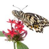 Papilio demoleus butterfly Stock Photography