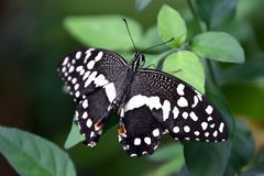 Papilio demoleus butterfly on a green leaf, black-white butterfly after birth. Papilio demoleus butterfly life cycle stock photo
