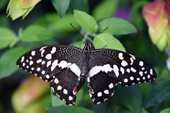 Papilio demoleus butterfly on a green leaf, black-white butterfly after birth. Papilio demoleus butterfly life cycle royalty free stock photo