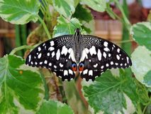 Papilio demoleus butterfly inside the Dubai Butterfly Garden. Papilio demoleus is a common and widespread swallowtail butterfly. The butterfly is also known as royalty free stock image