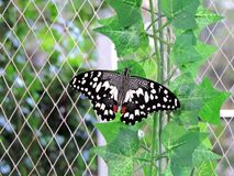Papilio demoleus butterfly inside the Dubai Butterfly Garden. Papilio demoleus is a common and widespread swallowtail butterfly. The butterfly is also known as royalty free stock images