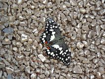Papilio demoleus butterfly inside the Dubai Butterfly Garden. Papilio demoleus is a common and widespread swallowtail butterfly. The butterfly is also known as stock photography