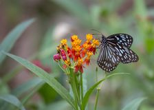 Papilio demoleus butterfly. Spotted outdoors stock images