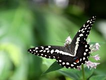 Papilio demoleus black butterfly on white flower. Papilio demoleus butterfly on a white wildflower stock photography