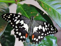 Papilio demoleus butterfly inside the Dubai Butterfly Garden. Papilio demoleus is a common and widespread swallowtail butterfly. The butterfly is also known as stock photo