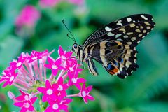 Papilio demoleus Northern Lime Swallowtail butterfly. With wings closed visiting a pink flower stock image