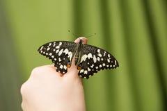 Papilio Demoleus obsiadanie na istota ludzka palcu Ręka motyl Zdjęcia Stock