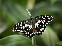 Papilio demoleus. Tropical butterfly,Papilio demoleusLime Butterfly royalty free stock image