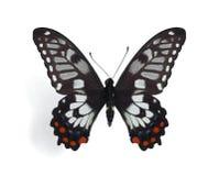 Papilio (Eleppone) anactus Royalty Free Stock Images