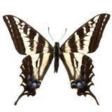 Papilio eurymedon. Adult pallid swallowtail (Papilio eurymedon) isolated on white Stock Photo