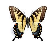Papilio glaucus maynardi (female) Royalty Free Stock Image