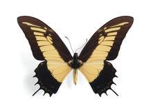 Papilio (Heraclides) androgeus Royalty Free Stock Image