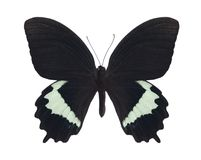 Papilio herengi Royalty Free Stock Photo