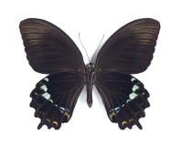 Papilio herengi (underside) Stock Image