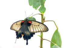 Papilio karmazynów lub depresji mormon Obraz Stock