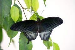 Papilio karmazynów lub depresji mormon Zdjęcia Royalty Free