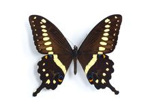 Papilio lormieri. On the white background Stock Photo