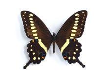 Papilio lormieri Stock Photo