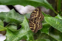 Papilio lormieri butterfly, Central Emperor Swallowtail on a leaf stock photos
