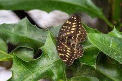 Papilio lormieri motyl, Środkowy cesarz Swallowtail na liściu zdjęcia stock