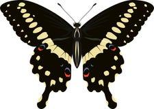 Papilio-lormieri Schmetterlings-Vektorillustration Stockbilder