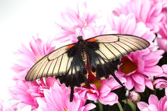 Papilio Lovii. On the flowers stock image