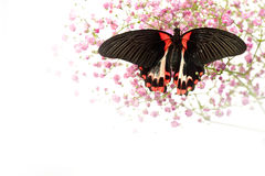 Papilio Lovii Royalty Free Stock Photography