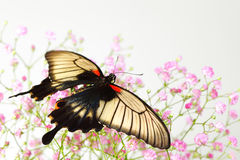 Papilio Lovii Stock Photo