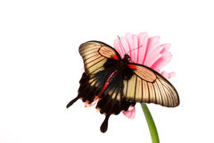 Papilio Lovii Royalty Free Stock Image
