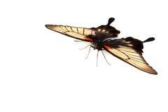 Papilio Lovii Royalty Free Stock Photo