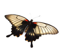 Papilio Lovii Stock Photos