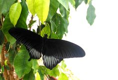 Papilio lowi or Crimson Mormon Royalty Free Stock Images