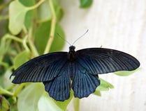 Papilio lowi or Crimson Mormon Stock Photo