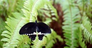 Papilio lowi or Crimson Mormon Royalty Free Stock Photo