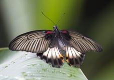 蝴蝶Papilio Lowi 库存照片