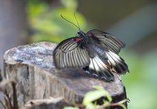 蝴蝶Papilio Lowi 免版税图库摄影