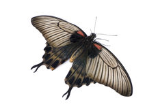 Papilio lowii butterfly Stock Image